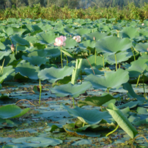 big_nagin_lotus_field_2